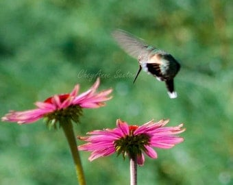 Hummingbird Photography Print Fancy Flying Over Purple Echinacea Flower Garden Purples dark-green giclee 10x10 12x12 8x8 fine art print