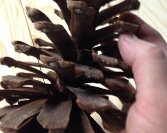 Ga pinecones Large! Box of 15 ct