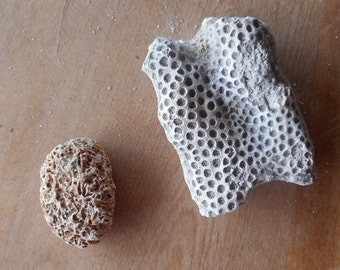 Fossilized Coral Two Pieces Of Different Types Science Specimen Florida Find