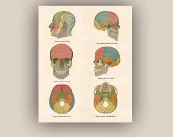 Skulls anatomy, Anatomy art, educational poster, kids room decor, playroom wall decor, school wall decor, 20x24 PRINTABLE