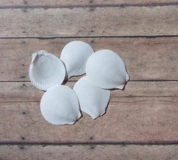 Beach Decor Seashells  White Sun Moon Shells - Round White Sea shells 10 pcs for Nautical Decor, Beach Weddings or Crafts