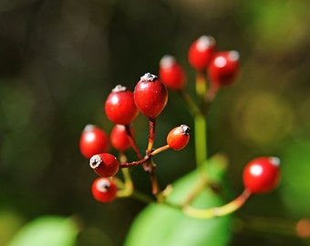 Red Berries, Nature Photography, Minimalist, Flowers, Gardens, Spring, Green, Plants, Christmas, Botany, Bright, Fine Art Photography