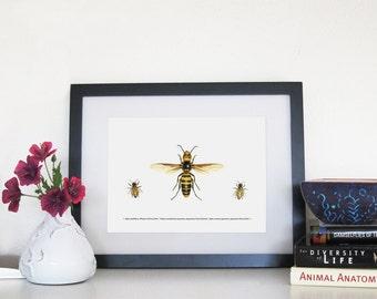 Japanese Hornet, Japanese Honey Bee and Western Honey Bee - 8 x 10 Print