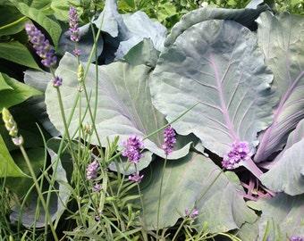Photography Still Life, Kitchen Art, vegetables and herbs, purple cabbage, lavender, lavender flowers, Fine Art Print