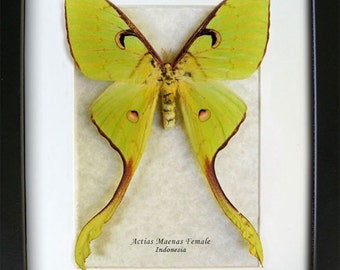 Indonesian Moon Moth Long Tailed Silk Moth Actias Maenas Female In Shadowbox