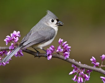 Tufted Titmouse (Art Prints available in multiple sizes)
