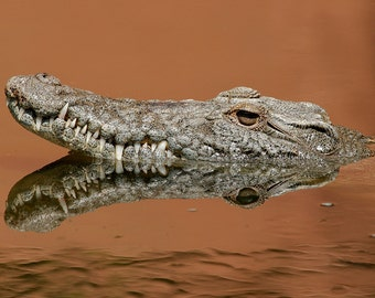 Crocodile (Art Prints available in multiple sizes)