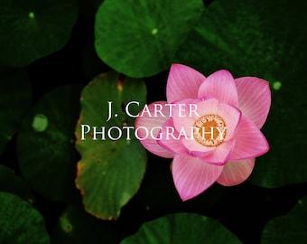 Dark Garden Series - Lotus