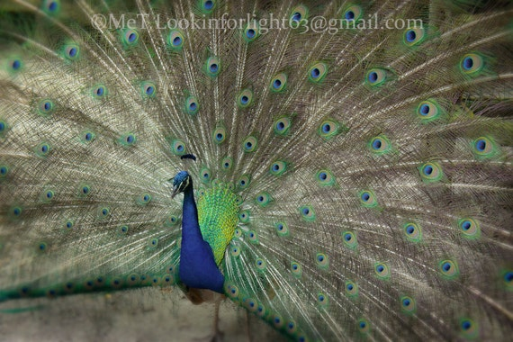 Peacock Photo, Colorful Peacock Art, Blue Green Art, Colorful Bird Photo, Peacock Feather, Petting Zoo, Peacock Blue, Charleston Peacock Art