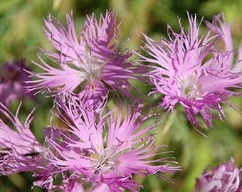 Dianthus-Superbus Rose- 100 seeds