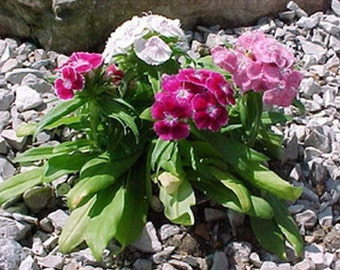 Dianthus-Sweet William Mix-or Maiden Pink 200 seeds