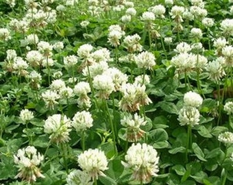 Clover - White Dutch- 500 seeds