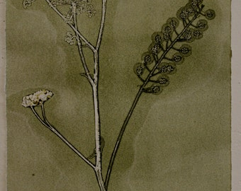 Seed heads, mono-print, olive green oil on heavyweight cartridge paper