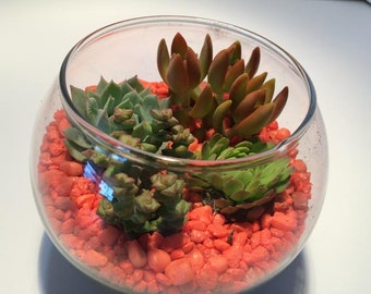 Succulent Plant Large Glass Bowl, Plants, Soil, Shells and Gravel  Complete DIY Kit