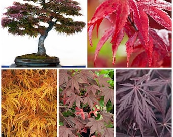 Japanese Maple Tree Seed Collection.  5 Packets of Seeds.   Makes a great gift!  Save over 20% on normal prices.