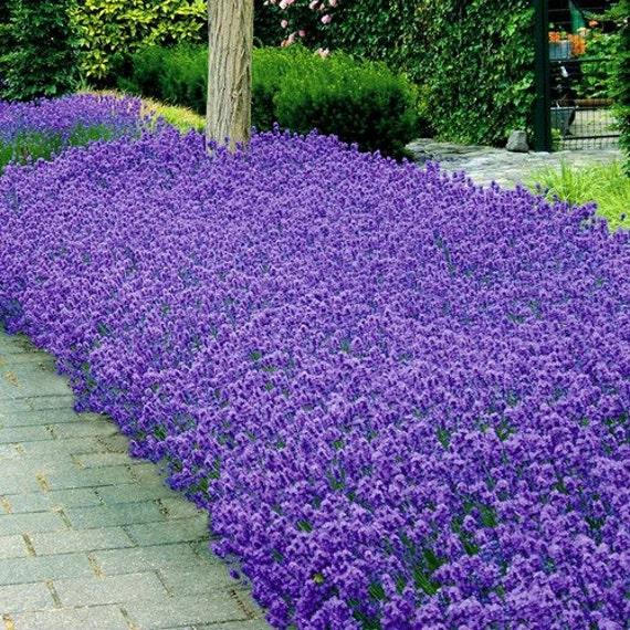 Lavender Munstead Flower Seeds Lavandula Angustifolia