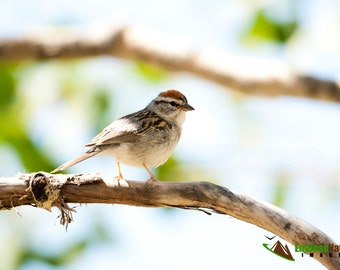Chipping Sparrow, Songbird Photography, Bird Photographs, Nature Images, Wildlife Photography, Sparrow Pictures, Chipping Sparrow Images