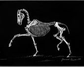 Trotting Horse Skeleton - original scratchboard horse art