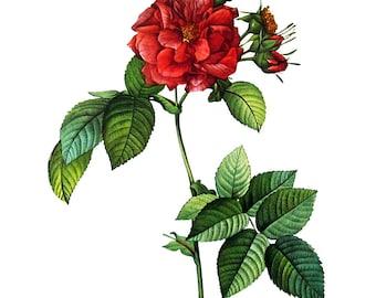 Redoute Rose Print - Rosa Turbinata - 1978 Vintage Flowers Book Print  - 11 x 9