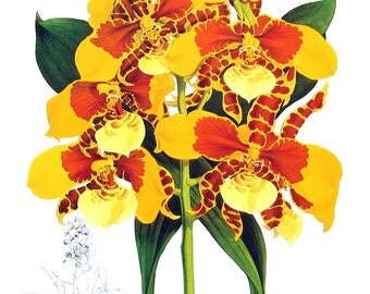 Flower Print - Orchids - Odontoglossum williamsianum - 1979 Vintage Book Page - Large Print For Framing - 15 x 12