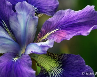 Purple Iris Flower Photograph, 8x12 Print in 11x14 White Matte by Jackie Miles