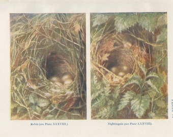 1906 Tiny Bird Nest Print 6, Eggs, Robin's Nest, Nightingale's Nest, Country Cottage Decor, Woodland Art, Woodland Nursery, Natural History