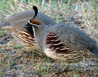 Male Quail – Open Edition –  Wildlife Desert Bird Fine Art Color Photograph