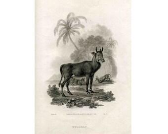 1798 NYLGHAU GOAT print original antique animal engraving