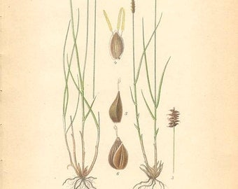 NORTHERN BOG SEDGE [Carex Dioica] - 1905 Botanical Book Plate  430