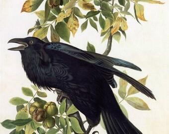 John James Audubon Watercolor Reproductions - Common Raven, 1829. Fine Art Print.