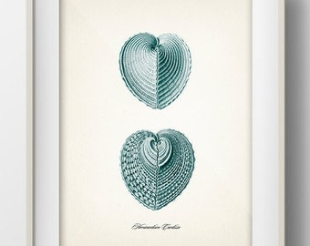 Heart Shaped Seashells (Hemicardium Cardissa)- 8x10 - Fine art print of a vintage natural history antique illustration,
