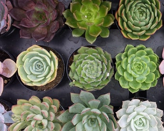 Small Succulent Plant You Choose 10 in pots.