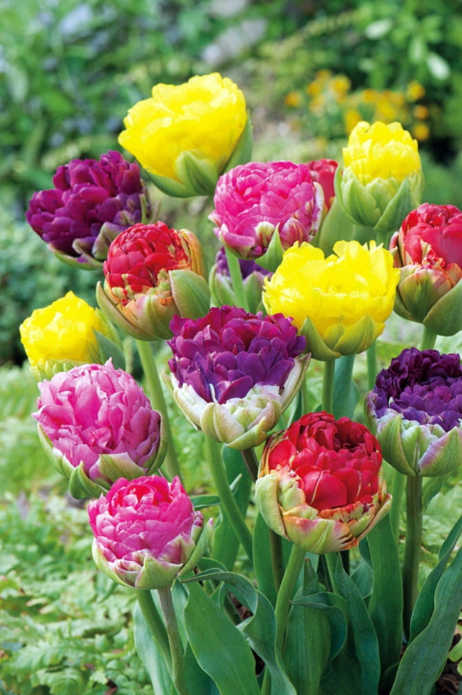 ice cream pop up mix double late tulip 3 bulbs by hirtsgardens. Black Bedroom Furniture Sets. Home Design Ideas