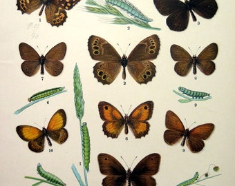 Antique  INSECTS BUTTERFLY print, 1907 MOTH color lithograph, vintage brown papillons , caterpillar butterflies entomology natural history.