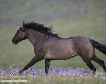 Early Morning Lupine Run - Fine Art Wild Horse Photograph - Pryor Mountains - Wild Horse