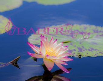 Fine Art Photography Print of a Pink Water Lily with a Reflection Surrounded by Lily pads.