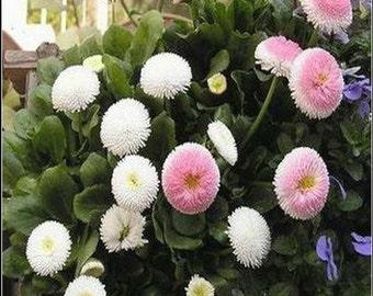 DIY 50 Seeds Home Garden Strawberries Cream English Daisy Bellis Perennis Flower Seeds