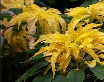 Home Garden Plant 100 Seeds Amaranthus Tricolor Aurora Yellow Joseph's Coat Flower Seeds