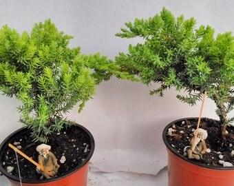 Two Tree Bonsai Juniper Garden 4'' Pot with Fishman  (FREE SHIPPING)
