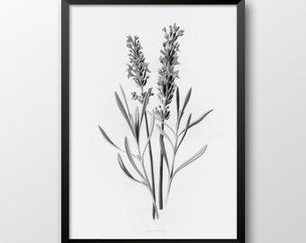 Black and White hand drawn lavender, Printable flower, Lavender print, Home decor, Wall art, Botanical 230