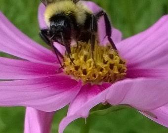 Bee on Flower Nature Photography, Fine Art ,Pink Flower Wall Art, Wall Decor,