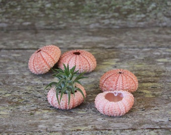 Pink Sea Urchin Planter with Ionantha Air Plant
