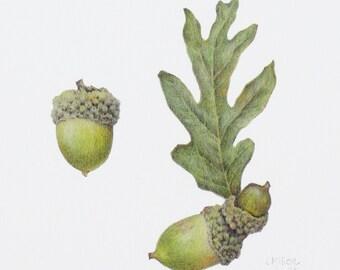Quercus alba (white oak with acorns), 8x8 botanical print, colored pencil, green leaf with acorns