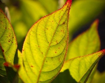 Nature Art Print, Fall Leaves, Sweetspire, Nature Photography, Macro, Gold and Red, Leaf Closeup, Botanical, Colorful Leaf, Yellow, Green