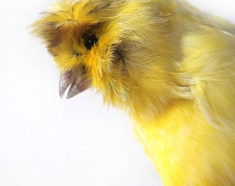 Yellow Taxidermy Canary on a Vintage Brooch Base