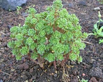 aeonium spatulatum 10 seeds