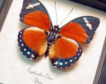 Real Framed Euphaedra Eleus Butterfly 8289