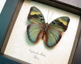 Real Framed Euphaedra Medon Butterfly 8288