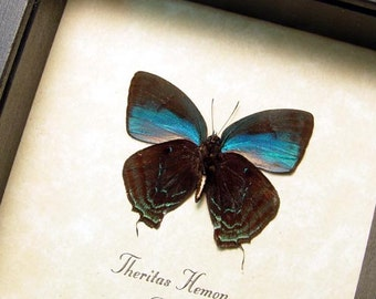 Real Framed Rare Theritas Hemon Brilliant Metallic Blue Verso Butterfly 8302