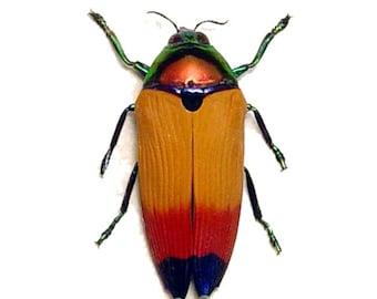 Real Framed Rare Glowing Metaxymorpha Apicalis Beetle 7915